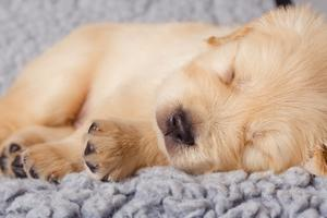 Hvordan at tage sig af en Golden Retriever nyfødte hvalpe