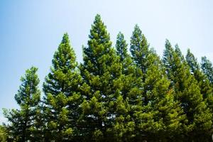 Hvad Kills Pine Trees?