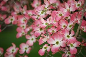 Lave blomstrende buske