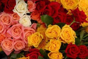 Hvordan til at vokse patiohit roser