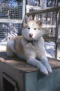 Sådan at trimme en Siberian Husky