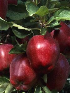 Hurtigst voksende Apple Tree