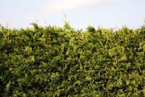 Sådan beskære et cedertræ hæk