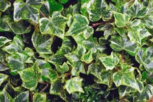 Sådan Kill Whiteflies på Ivy Planter