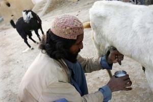 fodring af geder
