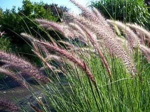 Højt græs typer