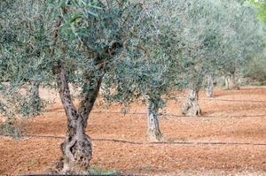 Hvordan man dyrker en Green Olive Tree