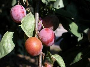 Hvordan man dyrker en Pembina Plum Tree
