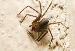 Hvordan til at identificere Arkansas edderkopper