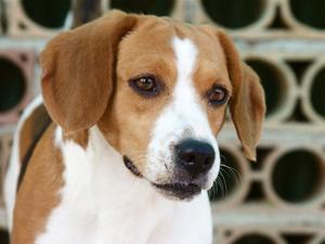 Anvendelse af Previcox til hunde