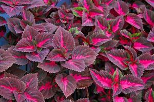 plante med lilla blade