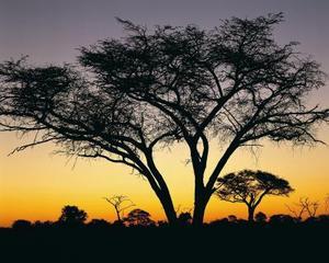 Forholdet af Acacia Tree & Ants
