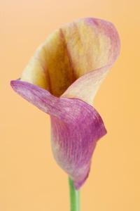Min Calla Lilies Vil ikke blomstre