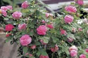 Min Rose Bush er visnen efter udplantning