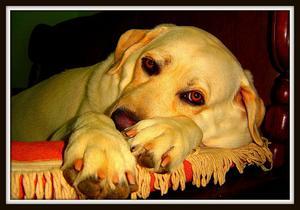 Mørk afføring hos hunde