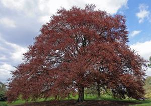 Oplysninger om EU Copper Beech Trees