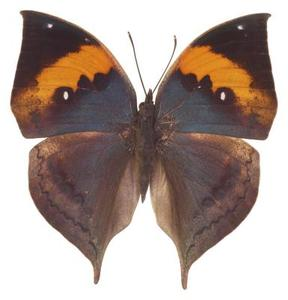 Fakta Om den indiske Leaf Butterfly