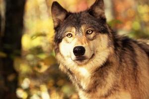 Sådan skræmme væk en Wolf
