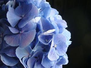 Hvordan man laver en silke hortensia arrangement