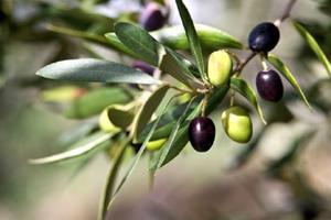 Oliven træ blade er tørre og falde ned