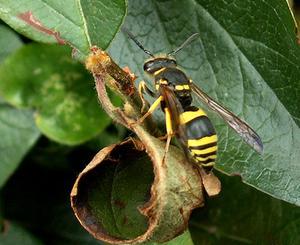 Sådan identificere forskellige hveps