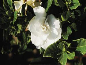 Hjemmelavet gardenia gødning