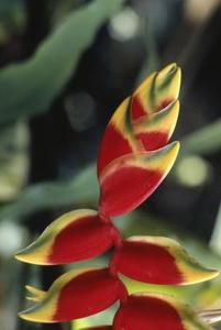 Sådan Care for en hummer Claw Heliconia Plant