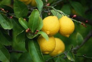 Hvor tæt på Plant et Lemon Tree til et hus