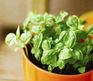 Sådan at plante basilikum i en gryde