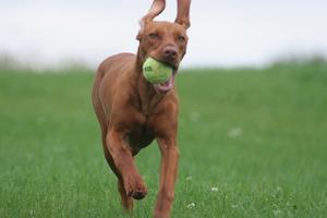 Hvorfor en hund nysen & fnysende