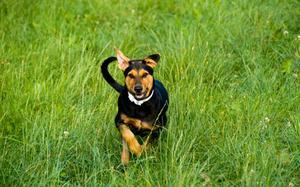 Hvordan at vide, hvis en hunds flåtbid er inficeret