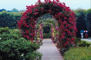 Hvordan man dyrker roser på en Arbor