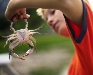 Hvordan man fanger krabbe med en stang og hjul