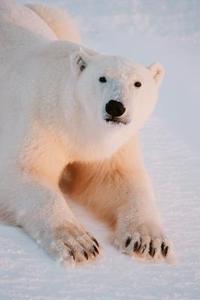 Hvordan laver man en Origami Isbjørn