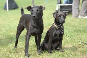 Hvorfor mine hunde slikke hinandens ører?