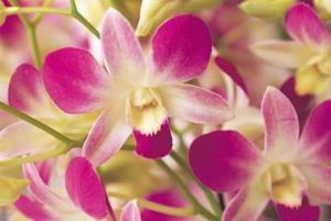Orkideer, der kan opdeles