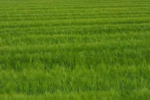Kan du seede befrugte & lime en græsplæne på samme tid?