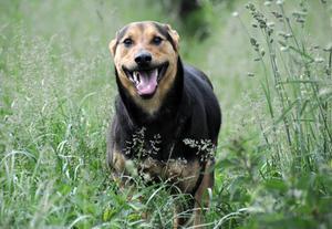 Den forventede levetid for hunde med knoglekræft
