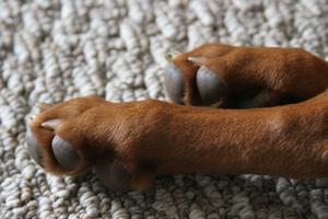 Førstehjælp for Broken Nails på en hund