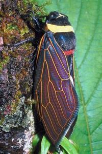 Sådan Kill Cicada-Killing Wasps