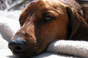 Hvorfor en hund Holder hoste op hvid fråde