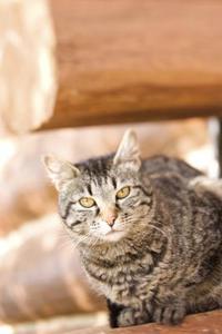 Forskellige racer af tabby katte