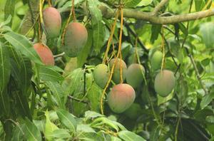 hvor vokser mango
