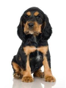 Hvilke hunde blev avlet til at få en rottweiler?