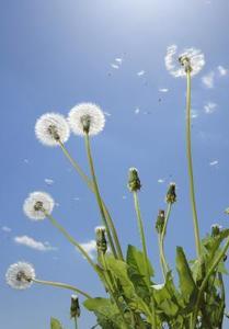 Hvad plantefrø spredes af vinden?