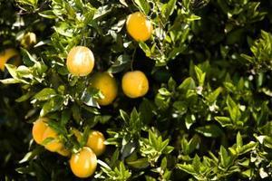 Hvordan at slippe af Scale på Min Orange Trees