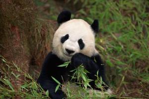 Giant Panda Fysiske egenskaber