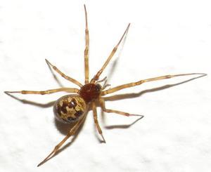 Sådan genkender Maryland Spiders