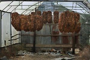 Sådan Cure tobaksblade