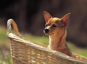 Sådan Race Deer-type Chihuahuas